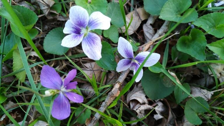 wild_violets2